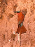 Carmine Bee-Eater, Okavango Delta, Botswana Reproduction photographique par Pete Oxford