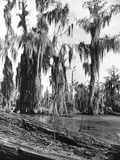 Cypress Trees Covered in Spanish Moss Photographic Print