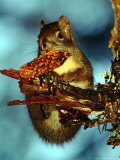 A Squirrel Hangs on as It Enjoys a Christmas Day Meal on the Mountain Path to Raven's Roost Photographic Print