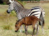 A Female Zebra Named Allison Frolicking with Her Foal Photographic Print