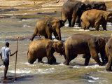 Pinnewala Elephant Orphanage Photographic Print