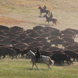 Buffalo Kick up Dust as Horseback Riders Keep Them Moving at the Custer State Park Buffalo Roundup Photographic Print