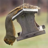 An Acrobatic Squirrel Enjoys the Contents of a Feeder While Hanging Upside-Down Photographic Print