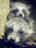 Two Raccoon Dog Pups Photographic Print