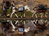 Two Donkeys Transports Ballot Boxes Photographic Print