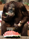 Six-Year-Old Male Orangutan Allan Eats a Piece of Watermelon at the Everland Amusement Park Photographic Print