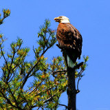 A Bald Eagle Sits Atop a Pine Tree Near Doughty Point 写真プリント