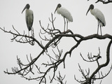 Three Wood Storks Roost in a Dead Tree Photographie