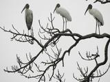 Three Wood Storks Roost in a Dead Tree Reprodukcja zdjęcia