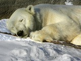 A Polar Bear Sleeps on a Bed of Snow at the Cleveland Metroparks Zoo Lámina fotográfica
