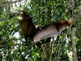 A Fruit Bat at the Tolga Bat Hospital Photographic Print