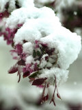 The Blooms of a Cherry Tree are Covered with Snow, Near Asheville, N.C. Photographic Print
