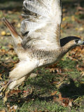 A Red-Tailed Hawk Takes Flight on Boston Common Photographic Print