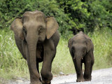Two Pygmy Elephants Cross the Road Photographic Print