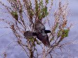 A Blackbird Flies During the 17th Annual World Series of Birding Photographie