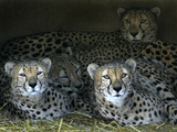 Four Cheetahs Snuggle Together on a Frigid Afternoon Photographic Print