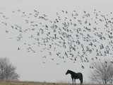 Seagulls Fly Over a Horse on a Foggy Christmas Day Photographic Print
