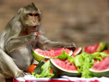 A Monkey Eats Watermelon on a Round Table 10 Meters (33 Feet) Photographic Print