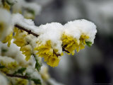 The Blooms of a Yellow Bell Bush are Covered with Snow Photographic Print