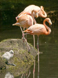 A White Flamingo Chick Photographic Print