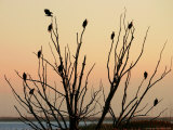 A Bald Eagle Joins Others Roosting in a Tree at Sunset in Bird Sanctuary Photographic Print
