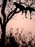 Leopard with Impala Carcass in Tree, Okavango Delta, Botswana Photographic Print by Pete Oxford