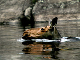 A Moose Cools Off Photographic Print