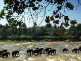 Elephants Enjoy Their Daily Bathing Session at the Pinnewala Elephant Orphanage Photographic Print