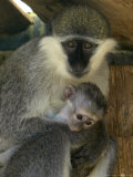 A Female Savannah Monkey Tends to Her Newborn Photographic Print