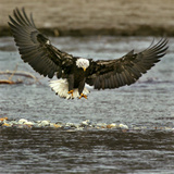 A Bald Eagle Swoops Down for a Landing While Looking for Fish Photographic Print