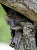 An Allen's Swamp Monkey Peers out of a Hole Photographic Print