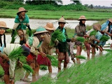 Burmese Women Plant Rice at the Beginning of the Monsoon Season Photographie