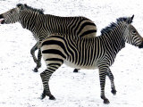 Two Zebras Frolick Photographic Print