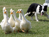 Shep, a Two-Year Old Border Collie, Herds Ducks Photographic Print