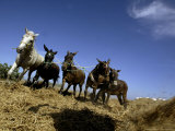 Horses and Donkeys Trample on a Crop of Fava Beans Photographic Print