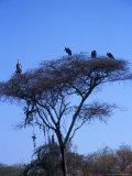 Buzzards in Tree Near a Konso Village, Omo River Region, Ethiopia Photographie par Janis Miglavs