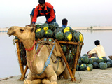 An Indian Farmer Loads His Camel with Watermelons on the Bank of the River Ganges Photographic Print
