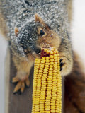 A Snow Dusted Fox Squirrel Chows Down on an Ear of Corn Photographic Print