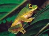 A Philautus Femoralis Tree Frog is Seen at the Horton Plains National Park Photographic Print
