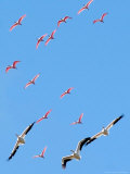 A Flock of Roseate Spoonbills and White Pelicans Photographie