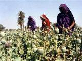 Women Cultivate Poppy Plants April 19 Photographic Print