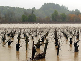 A Russian River Vineyard Remains Flooded Near Forestville, Calif. Photographic Print