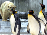 A Polar Bear Watches from His Enclosure While Some King Penguins Walk by at the Zoo Photographic Print