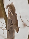 A Hungry Gray Squirrel Checks out a Bird Feeder as It Looks for Something to Eat Photographic Print