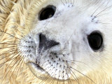 Nahia, a Five-Day-Old Grey Baby Seal Photographic Print