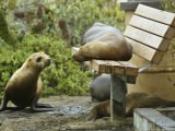 A Sea Lion Rests on a Park Bench at Breakwater Cove Photographic Print
