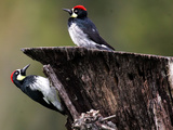 A Pair of Acorn Woodpeckers Find Their Food on a Tree at Rancho San Antonio Park Photographic Print