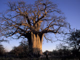 Near Gweta Baobab Tree in Evening with Dried Pods Hanging from Branches, Botswana Photographic Print by Lin Alder