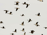 A Flock of Canada Geese Soar Through the Afternoon Sky Photographic Print