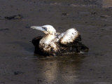 An Oil-Covered Bird Photographie